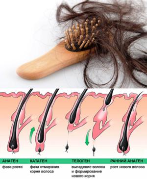 Сколько выпадает волос - цикл
